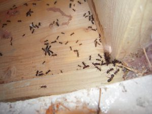 Photo: carpenter ants swarming