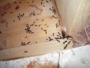 Photo carpenter ant acitvity