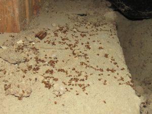 dead moisture ants