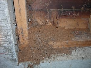 frass left from a moisture ant colony